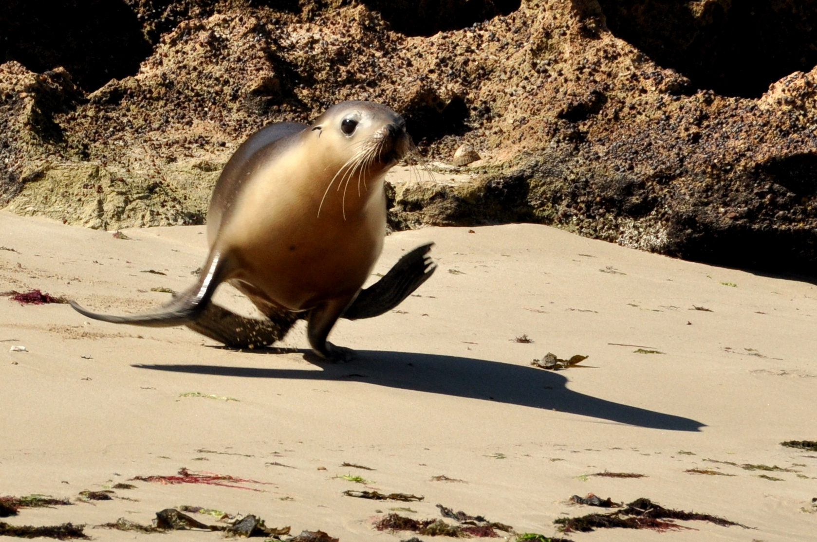 Lion Running in Water Sea Lion Pup Running Into The